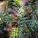 Die ersten Blütenknospen für's nächste Jahr<br />Ein Schneeheide blüt meist schon Mitte Februar
