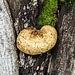 Baumpilz an einer Linde