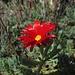 """Muss den Blättern nach eine Sukkulente sein. Egal, einfach eine wunderschöne Blüte.<br /><br />Dopo le foglie dovrebbe essere una """"succulenta""""? Non importa, è solamente un fiore bellissimo."""