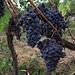 Weinberg bei Lacona<br /><br />Vigneto a Lacona