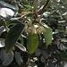 Dieser unscheinbare Busch duftete so wunderbar über das ganze Hafenbecken. Muss ein Rhamnus alaternus sein?<br /><br />Che bel profumo aveva questa pianta che non ho mai visto prima. Magari un Rhamnus alaternus?