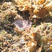Pfauenfederwurm, zieht sich bei Gefahr blitzartig in seine Kalkröhre im Boden zurück.<br /><br />Verme pavone si ritira fulmineamente nel suo tubolo calcareo nel fondo in caso di pericolo.