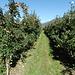 Apfelplantagen soweit man schauen kann