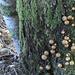 Schwammerlparade am Baumstamm