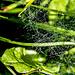 In den taufrischen Wiesen zahlreiche Spinnennetze
