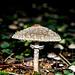 Ein prächtiger Parasol-Pilz, ein vorzüglicher Speisepitz.<br />Wenn der Schirm groß genug ist brät man in in der Pfanne wie ein Schnitzel