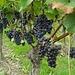 """ein """"Amarone de la Valpolicella"""" wird daraus wohl nicht,aber der Wein vom Kaiserstuhl hat schon einen guten Ruf"""