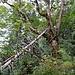 ... im eindrücklich-urchigen Wald ...