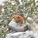 Farfalla nella sabbia calcarea