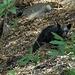 1. Bärenkontakt kurz vor dem Moro Rock - hier ein Bärenjunges dicht hinter der ...
