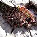 so grau die StEinöde - so farbig und deliziös die kleine Pflanzenwelt