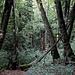 Im Urwald Perućica / Перућица - Am Wegrand eines Pfades, den wir vom Dragoš sedlo / Драгош седло aus ein ganzes Stück folgen.