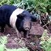 Wilde Hausschweine zuhauf. Die wüten übler als jeder Bulldozer.