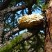 Fasnachtschüechli wachsen auf Lärchen
