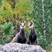 Zu guter Letzt konnten wir dann im Wald noch einige Gämsen beobachten.