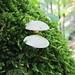 Pilze auf Fels im Moosbukett