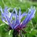 Zerzauste Flockenblume