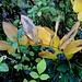 verblühte Salomonssiegel - mit knackigen Beeren