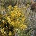 Die vorherrschende Flora: Ginster und Rosmarin