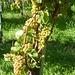 Bald ist Weinlese - Rieslingtrauben