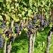 Schön behangene Blauburgunderreben bei Trimmis