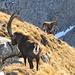 Immer wieder faszinierend den Königen der Alpen zu begegnen, insbesondere wenn man ihnen so nahe kommen kann