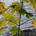 Herbstliche Blätter vor grauen Alpsteinkalkfelsen.
