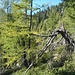 Lärchenwald zwischen Cortone und Laghetto