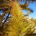 Gold am Baum