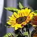 Eine der letzten Sonnenblumen