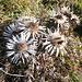 Disteln sind die letzten Überlebenden der Bergflora.