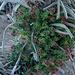 Tajinaste rojo del teide (echium wildpretii)
