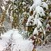 Im Wald 'chuutet' es nicht ganz so wild. Über und in die Wege hängen schneebeladene Äste.