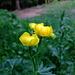 Primele flori pe traseu (The first mountain flowers found on the route - Trollius chinensis )