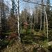 Brandegg (1108m): der höchste Punkt im Oberwald, ausser junge Birken ist nicht viel zu sehen.