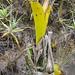Brocchinia reducta - eine ebenfalls fleischfressende Pflanze mit glatten Kelchwänden und lockender Farbwahl. Sie gehört zu den Bromeliaceen.