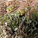 die Trompeten vor Jericho - Wer weiss, was es sind? - Sind es Sukkulenten, Pilze, oder etwas anderes? Es scheint, als ob unten beim Trompeten-Ansatz sogar kleine Blättchen wären. (Pizflora sagt: es ist eine Flechte. rojosuiza dankt.)