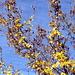 Die letzen Blätter eines Ahorns