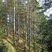 Durch herrlichen Kiefernwald geht's zurück zur Kanzelkehre...