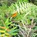 tropischer Schmetterling im Farn - nahe Paraima Tepui