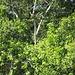 Ein [http://de.wikipedia.org/wiki/Hoatzin Hoatzin] in Bildmitte (leider nur in Originalgröße ungefähr erkennbar, da bei meiner Zoom-Kamera die Batterien leer waren...)