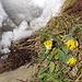Die Wetterkapriolen irritieren auch die Pflanzen: blühender Alpen-Wundklee (Anthyllis alpestris)