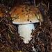 Serie di porcini trovati in pineta sul Monte Nudo: porcino 1