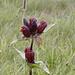 Purpur-Enzian, Gentiana purpurea