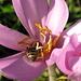 Biene auf der Suche......