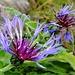 Flockenblumen im November. Die Alp Sigel ist eines der grössten Blumenparadiese in den Alpen. Hier blühen die Blumen wohl auch im Winter unter dem Schnee ;-)