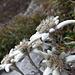Edelweiss-Spätlese