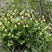 noch mehr Gelber Frauenschuh (Cypripedium calceolus)