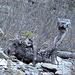 Eines der seltenen Bregenzerwälder Berg-Lamas, den Sommer über kriegt man es kaum zu Gesicht