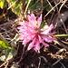 Man findet selbst Mitte November noch blühende Blumen auf 1700 Meter Höhe – aber man muss sie doch etwas suchen.